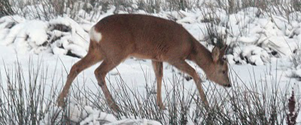 Mange dræbte hjorte p.g.a. vintertid