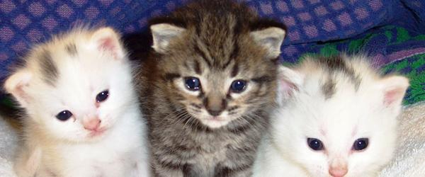"""""""Det var Kattens"""" -tyveri af gravid kat i Hørby"""