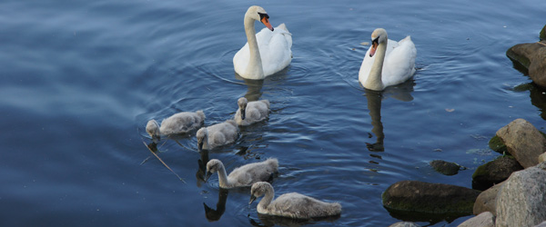 Så er svanerne tilbage i åen ved Sæby