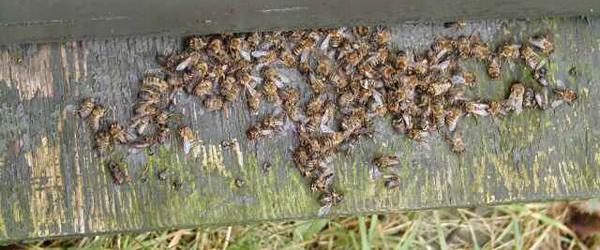 Den varme sommer reder biavlerne