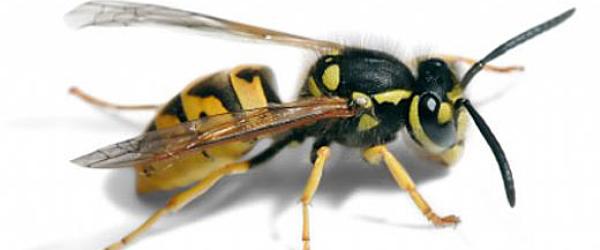 Hvepse er et stort problem i år<br>…