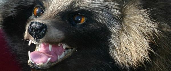 500 kr. i præmie for en død mårhund