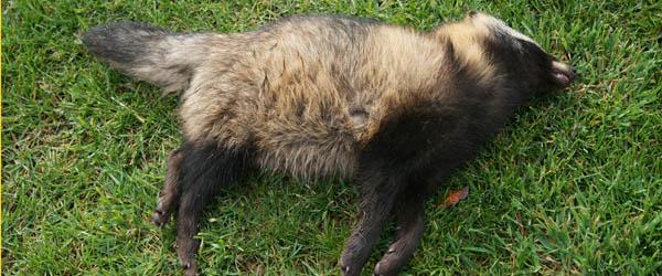 Trafikdræbt Mårhund fundet ved Sæby!