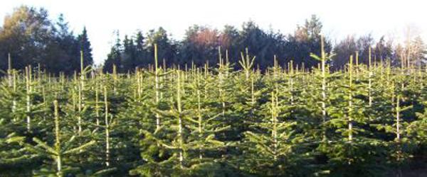 Kun grimme juletræer tilbage de fleste steder