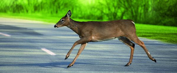 GF Forsikring: Bilister skal passe på dyrene