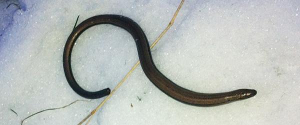 Den slangede sig som en ål, men hvad er det?