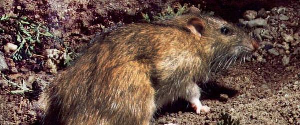Årstid for Kommunal Rottebekæmpelse