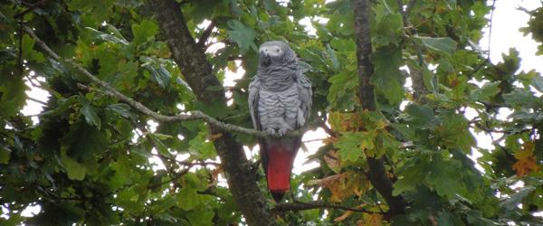 Efterlysning:<BR>Har du set papegøjen?