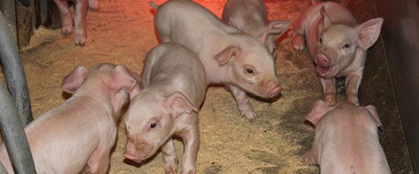 LandboNordmøde om fremtidens svineproduktion
