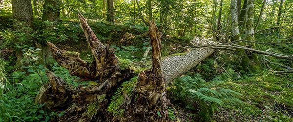 Urørt Skov Vandværksskoven a kopier